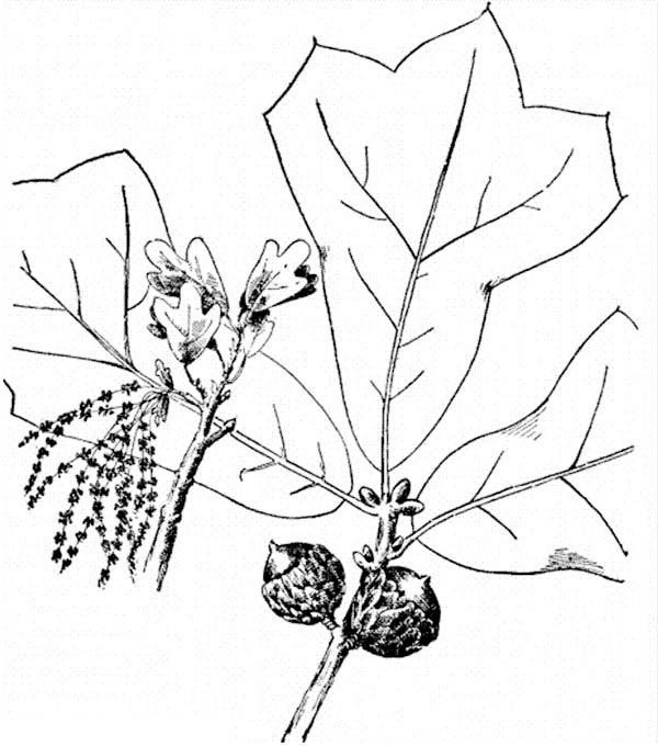 Oak Tree, : Picture of an Oak Tree Fruit and Leaves Coloring Page
