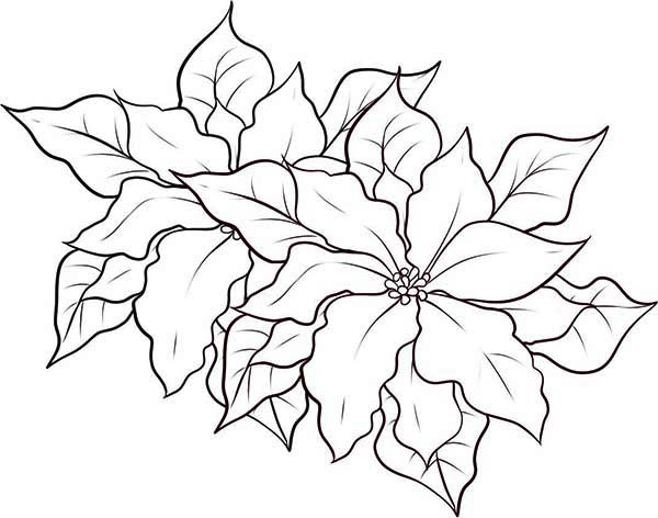 Poinsettia Coloring Page Color Luna