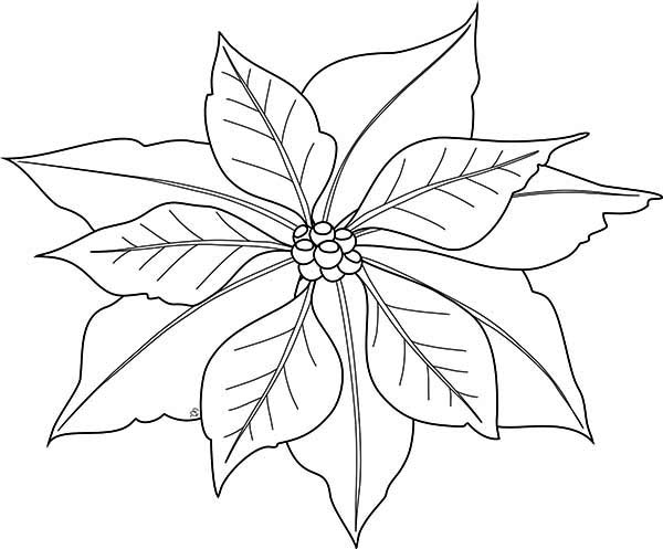 Poinsettia, : Poinsettia Image Coloring Page