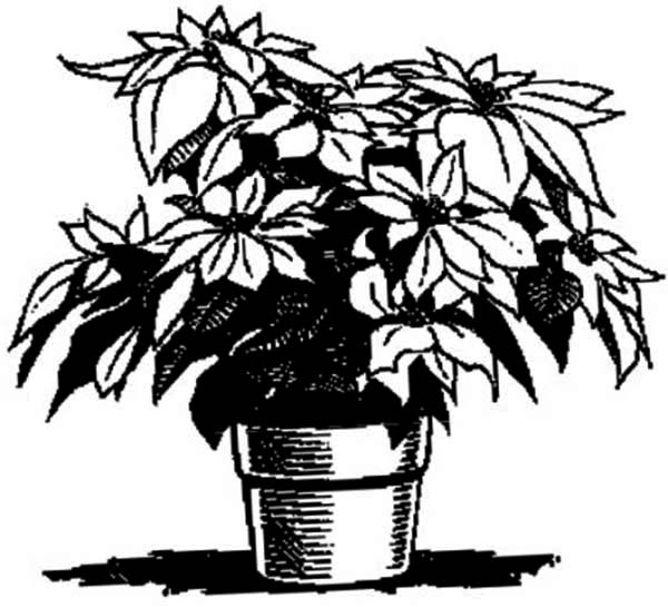 Poinsettia, : Poinsettia for Decoration Coloring Page