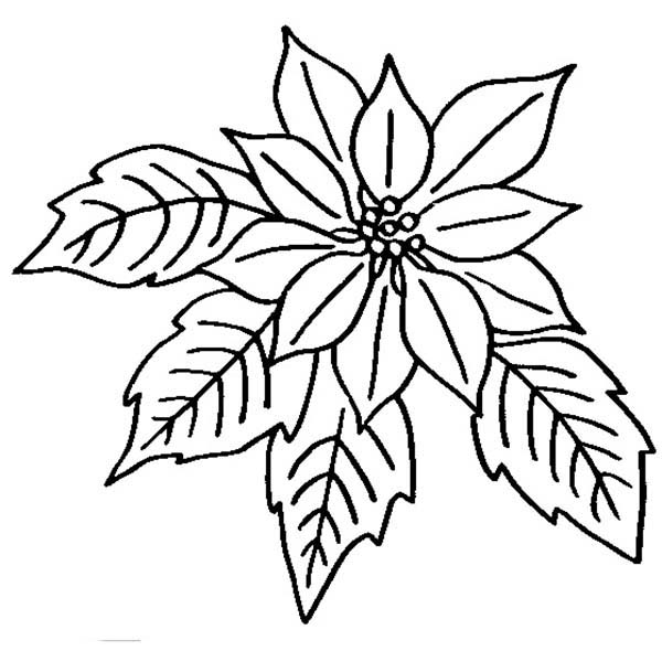Poinsettia, : Poinsettia in Bloom Coloring Page