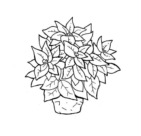 Poinsettia, : Poinsettia in Ceramics Coloring Page