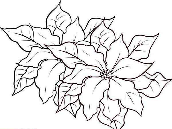 Poinsettia, : Poinsettia in the Garden Coloring Page
