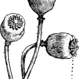 Poppy, Poppy Flower Head Coloring Page: Poppy Flower Head Coloring Page
