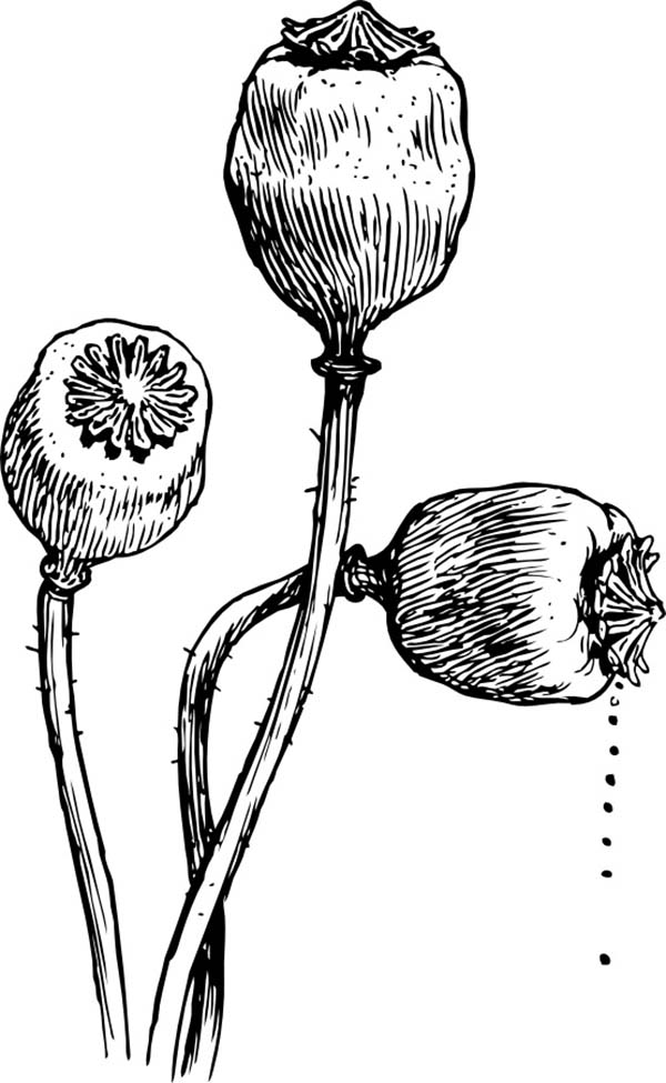 Poppy, : Poppy Flower Head Coloring Page