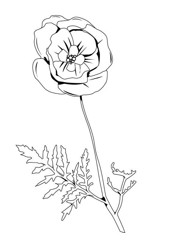 Poppy, : Pretty Picture of Red Poppy Coloring Page