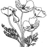Poppy, Red Poppy Coloring Page: Red Poppy Coloring Page