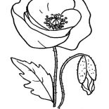 Poppy, Red Poppy Picture Coloring Page: Red Poppy Picture Coloring Page