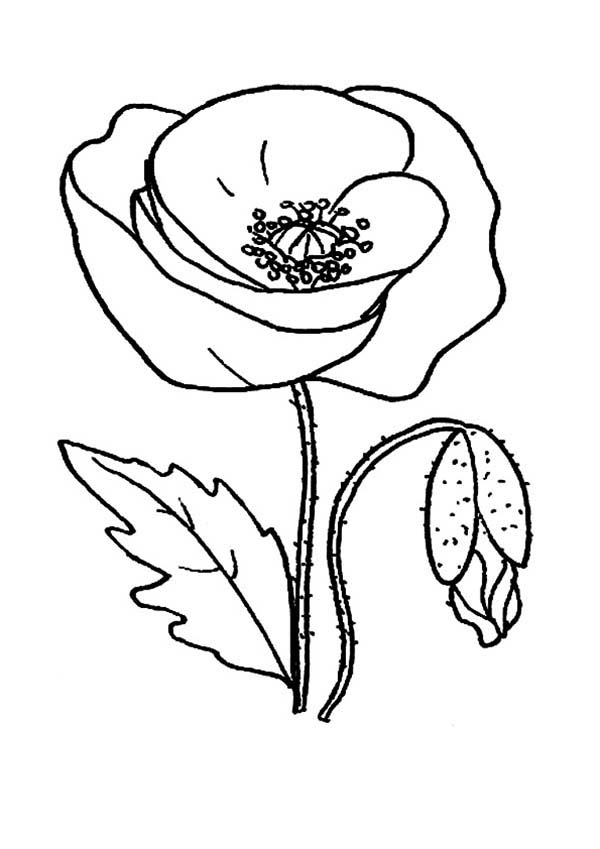 Poppy, : Red Poppy Picture Coloring Page
