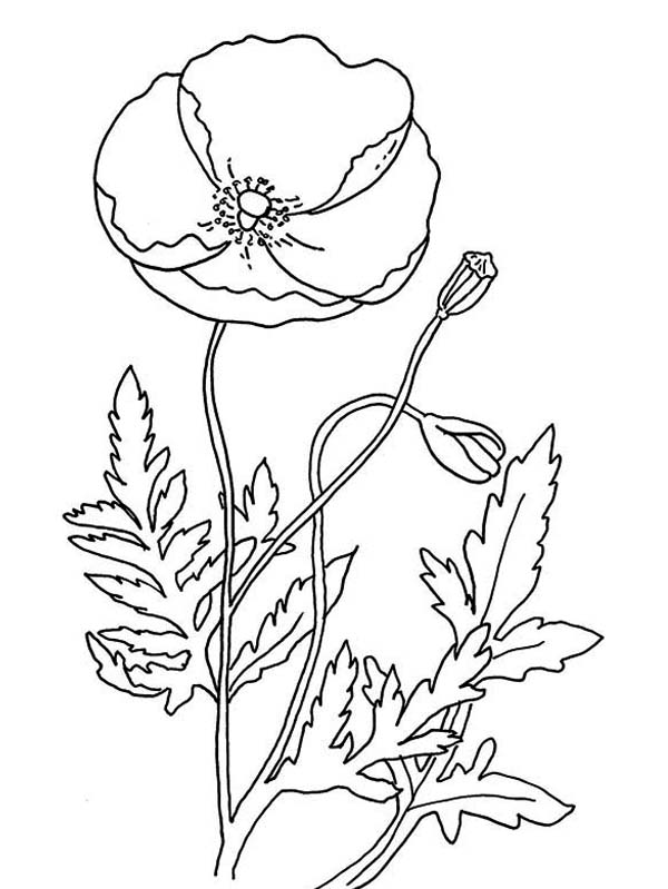 Remembrance Day with Poppy Coloring