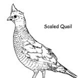 Quail, Scaled Quail Coloring Page: Scaled Quail Coloring Page