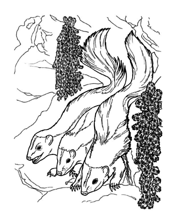 Skunk, : Three Striped Skunk Coloring Page