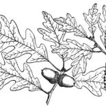 Oak Tree, White Oak Tree Leaves Coloring Page: White Oak Tree Leaves Coloring Page