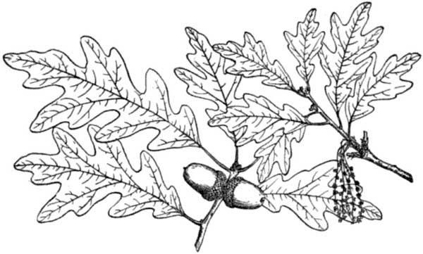 Oak Tree, : White Oak Tree Leaves Coloring Page