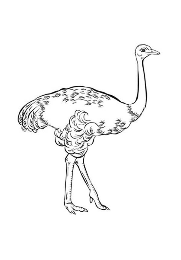 Ostrich, : Ostrich Coloring Page for Kids