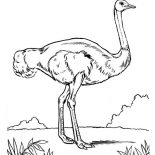 Ostrich, Ostrich Is Cannot Fly Bird Coloring Page: Ostrich is Cannot Fly Bird Coloring Page