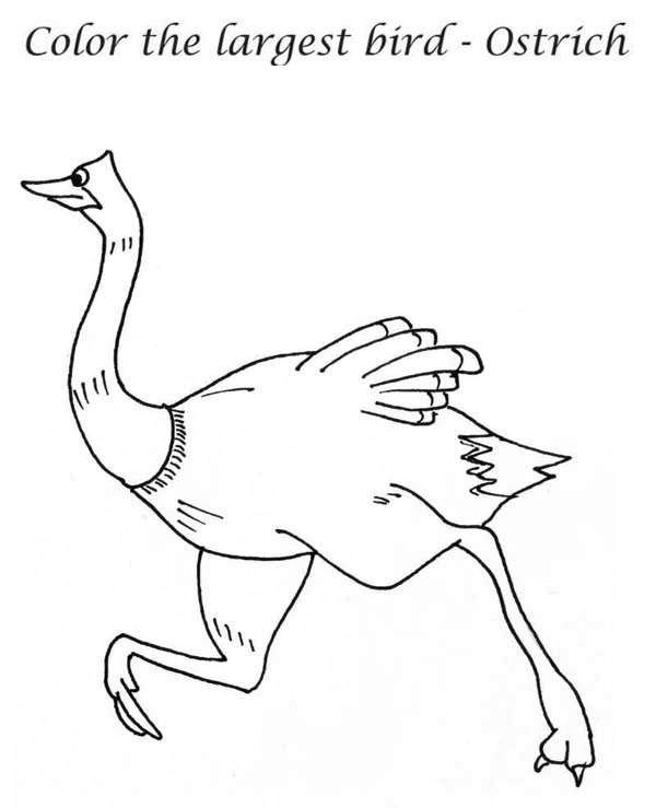 Ostrich, : The Largest Bird Ostrich Coloring Page