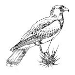 Birds, Awesome Picture Of Hawk Bird Coloring Page: Awesome Picture of Hawk Bird Coloring Page