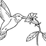 Birds, Humming Bird Eat From Flower Coloring Page: Humming Bird Eat from Flower Coloring Page