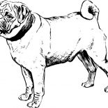 Pug, Awesome Pug Drawing Coloring Page: Awesome Pug Drawing Coloring Page