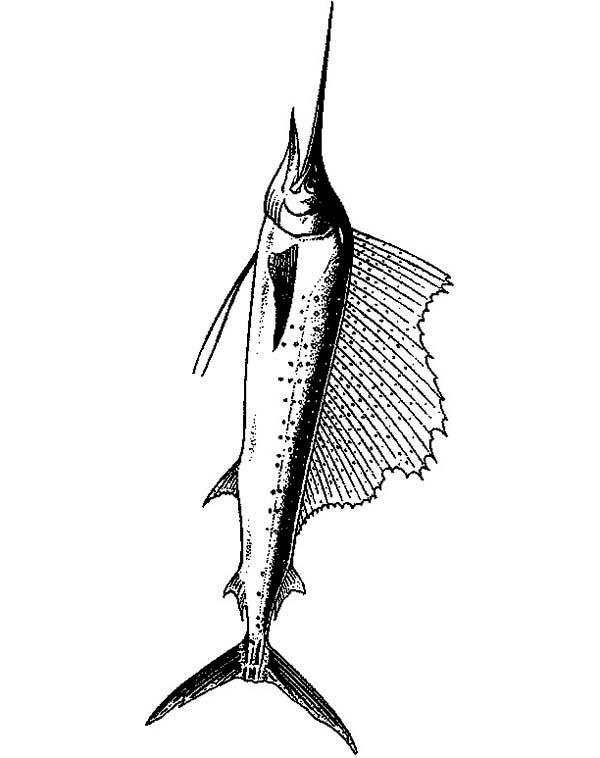 Swordfish, : Beautiful Fin of Swordfish Coloring Page
