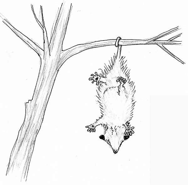 Possum, : Cute Little Possum Coloring Page