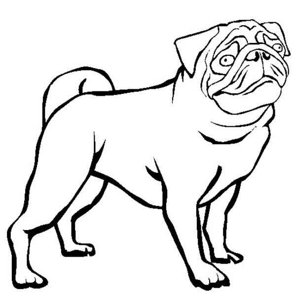 Pug, : Dutch Bulldog Pug Coloring Page