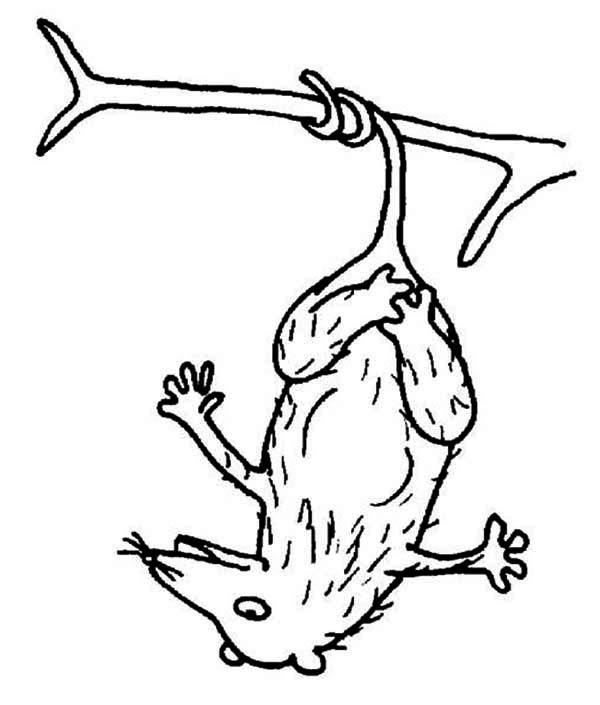 Possum, : Hairy Possum Coloring Page