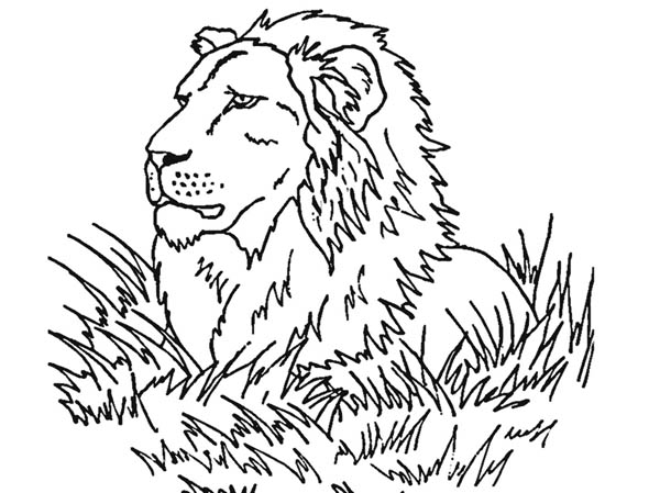 Lion Observe His Prey Coloring Page Color Luna