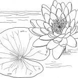 Lily Pad, Nymphaea Mexicana And Lily Pad Coloring Page: Nymphaea Mexicana and Lily Pad Coloring Page