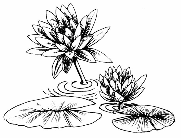Lily Pad, : Photo of Lily Pad Coloring Page