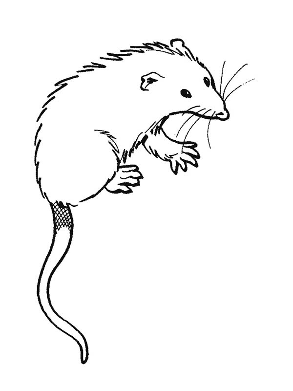 Possum, : Picture of Possum Coloring Page