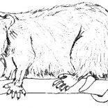 Possum, Possum Image Coloring Page: Possum Image Coloring Page
