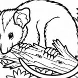 Possum, Possum Sitting On Tree Branch Coloring Page: Possum Sitting on Tree Branch Coloring Page
