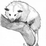 Possum, Possum Sketch Coloring Page: Possum Sketch Coloring Page