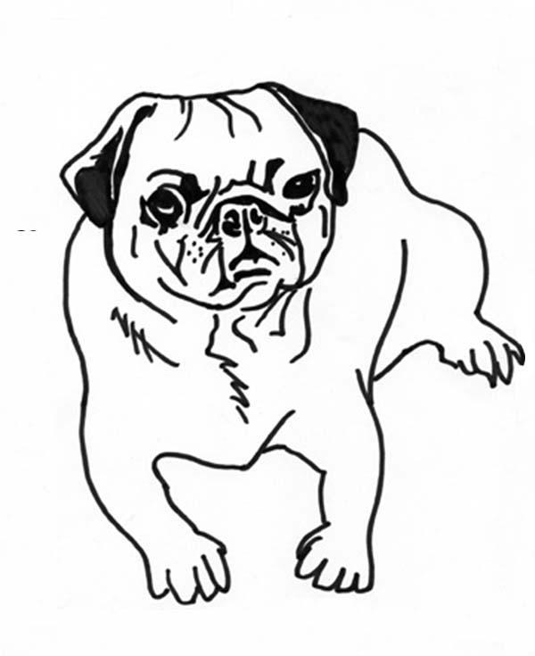 Pug, : Pug Dog Coloring Page