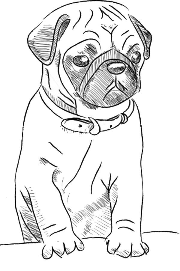 Pug, : Pug Dog Skecth Coloring Page