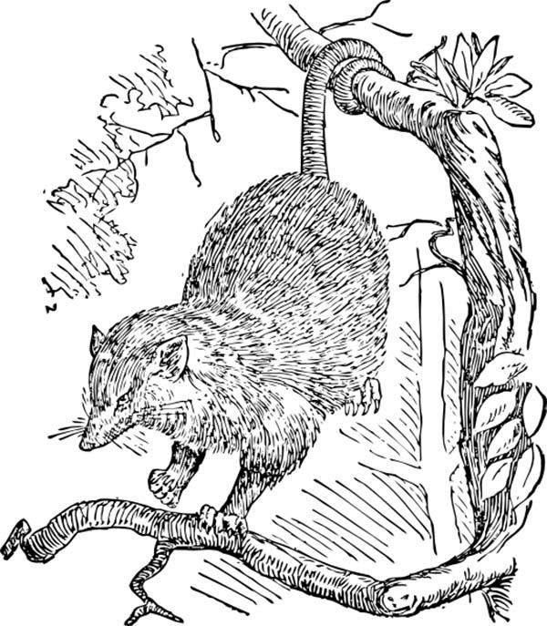 Sketch Of A Possum Coloring Page Color Luna