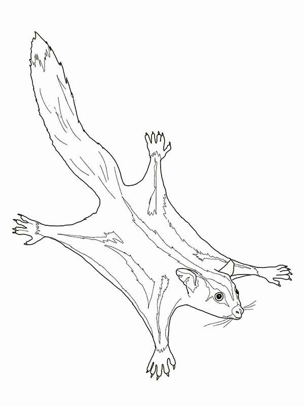 Possum, : Sugar Glider Possum Coloring Page