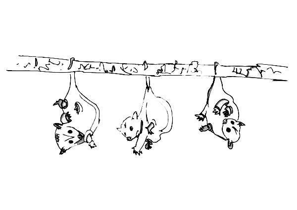Possum, : Three Little Possum Coloring Page