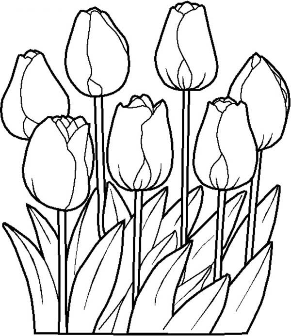 Spring Flower, : Tulips is One of Spring Flower Coloring Page