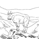 Mountain Goat, Amazing Animal Mountain Goat Coloring Pages: Amazing Animal Mountain Goat Coloring Pages