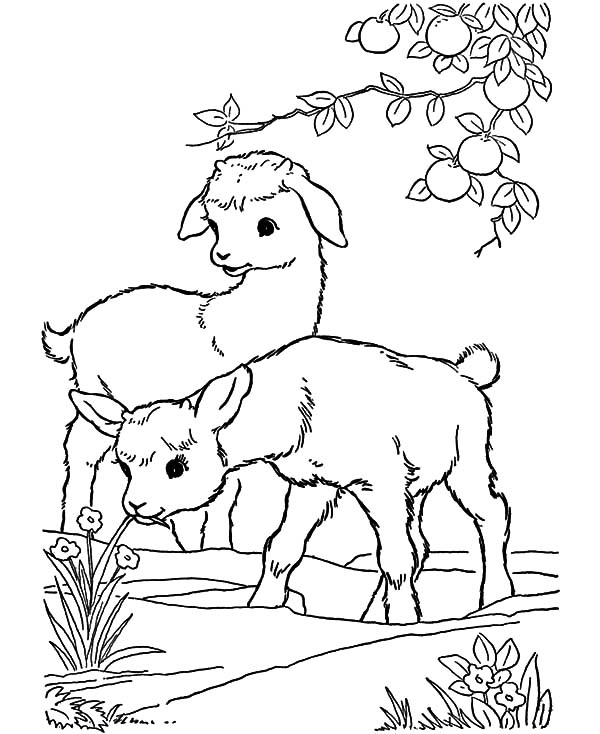 Goat, Baby Goat Playing Under Orange Tree Coloring Pages: Baby Goat Playing Under Orange Tree Coloring Pages