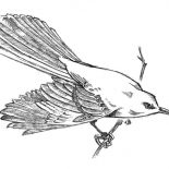 Mockingbird, Cautious Mockingbird Coloring Pages: Cautious Mockingbird Coloring Pages