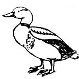 Mallard Duck, Drawing Mallard Duck Coloring Pages: Drawing Mallard Duck Coloring Pages