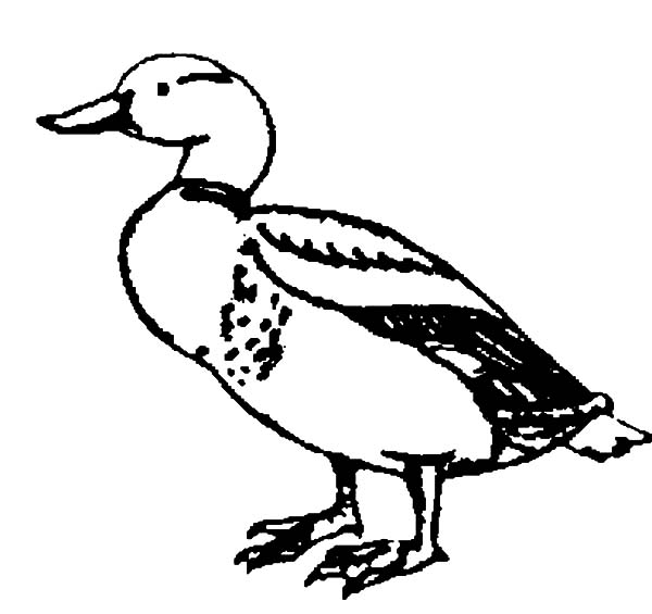 Mallard Duck, : Drawing Mallard Duck Coloring Pages
