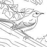 Mockingbird, Drawing Northern Mockingbird Coloring Pages: Drawing Northern Mockingbird Coloring Pages