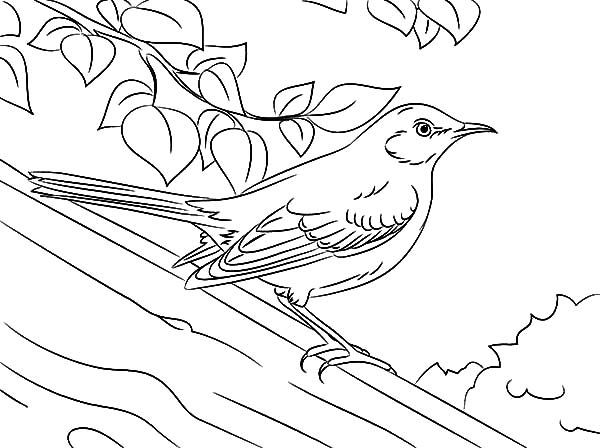 Mockingbird, : Drawing Northern Mockingbird Coloring Pages