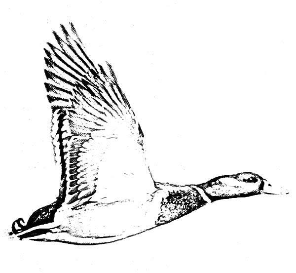 Mallard Duck, : Flying Mallard Duck Coloring Pages