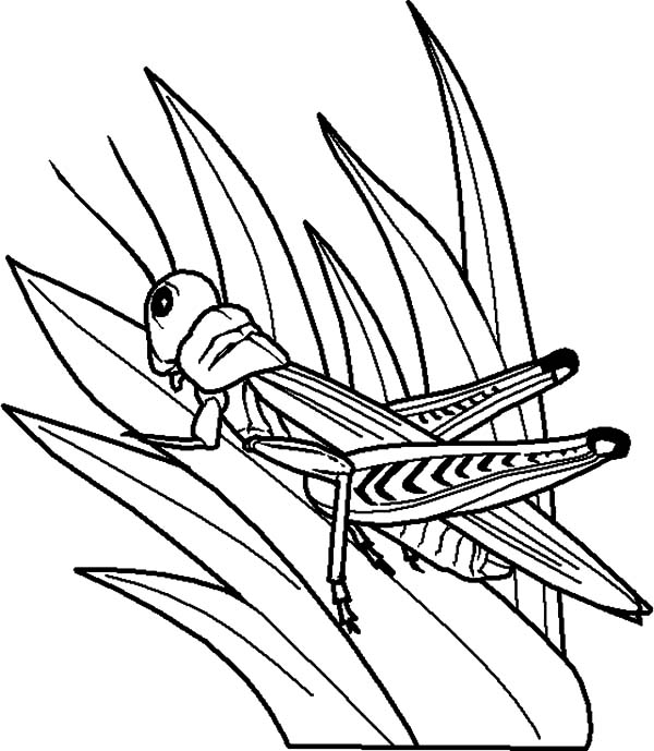 Grass, : Grasshopper Perch on Grass Coloring Pages